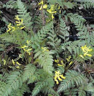 Farnblättriger Lerchensporn - Corydalis cheilanthifolia - Vorschau