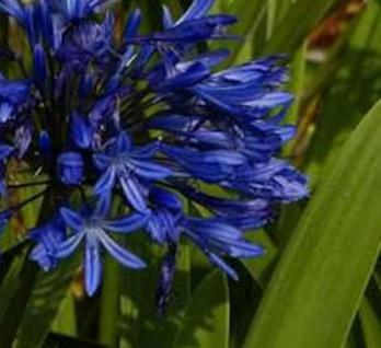Schmucklilie Navy Blue - Agapanthus africanus - Vorschau