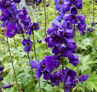 Rittersporn Black Knight - Delphinium pacific