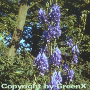 Herbst Eisenhut - Aconitum carmichaelii - Vorschau