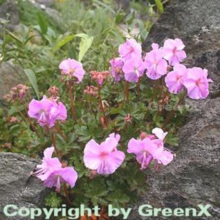 Dalmatiner Storchschnabel - Geranium dalmaticum - Vorschau