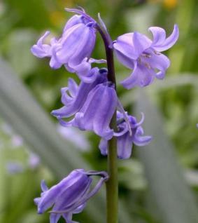 Glockenblaustern Excelsior - Hyacinthoides hispanica - Vorschau