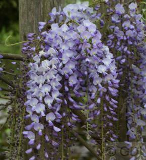 Niedriger Blauregen Okayama 40-60cm - Wisteria sinensis - Vorschau