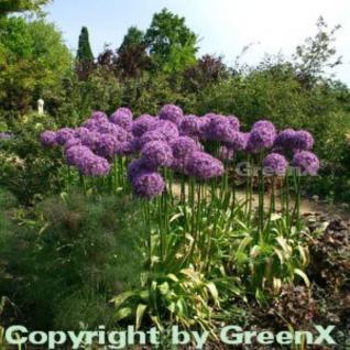 Zierlauch Globemaster - Allium macleanii - Vorschau