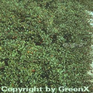 Zwergmispel Eichholz 20-30cm - Cotoneaster dammeri - Vorschau