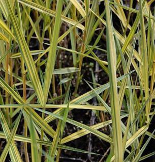 Schilfrohr Variegata - Phragmites australis - Vorschau