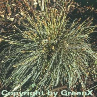 Segge Snowline - Carex conica - Vorschau