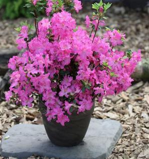 Japanische Azalee Petticoat® 15-20cm - Rhododendron obtusum - Zwerg Alpenrose - Vorschau