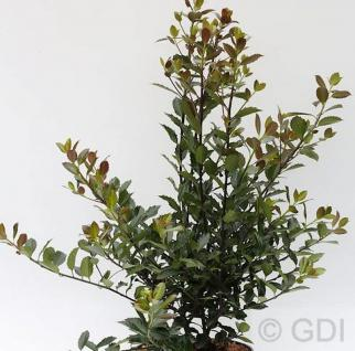 Stechpalme Ilex Heckenblau® 30-40cm - Ilex meserveae - Vorschau