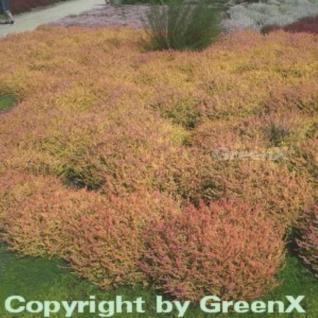10x Besenheide Boskoop - Calluna vulgaris - Vorschau