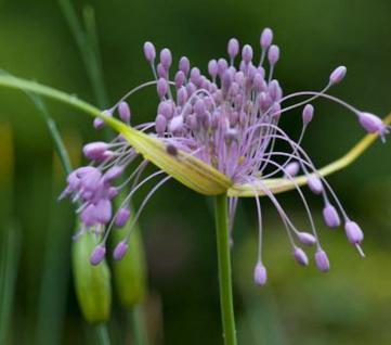 Gekielter Lauch - Allium carinatum - Vorschau