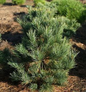 Zirbelkiefer Westerstede 50-60cm - Pinus cembra - Vorschau