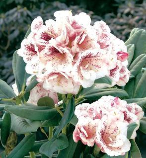 Großblumige Rhododendron Prinsess Maxima 40-50cm - Alpenrose - Vorschau