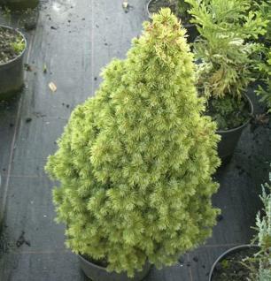 Zuckerhutfichte Rainbows End 25-30cm - Picea glauca - Vorschau