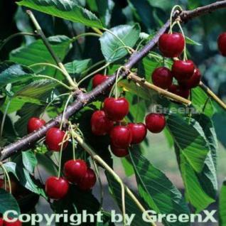 Süßkirsche Regina 60-80cm - dunkelrote süße Früchte - Vorschau