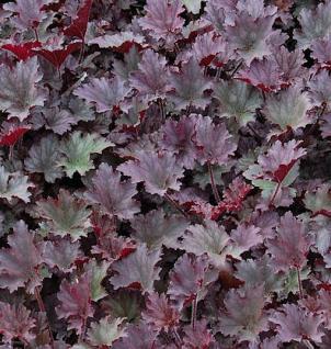 Silberglöckchen Frosted Violet - Heuchera cultorum - Vorschau