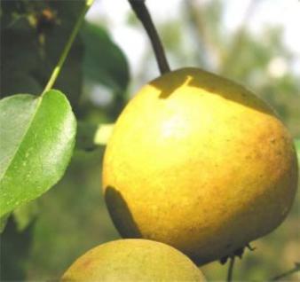 Birne Honigbirne 60-80cm - feinwürzige und grobzellige Früchte - Vorschau