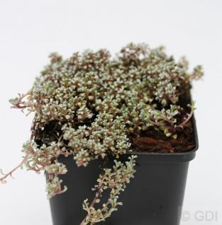 Schafteppich Silberkissen - Raoulia australis - Vorschau