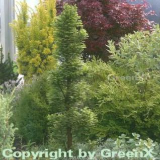 Zwerg Sumpfzypresse 40-60cm - Taxodium distichum - Vorschau