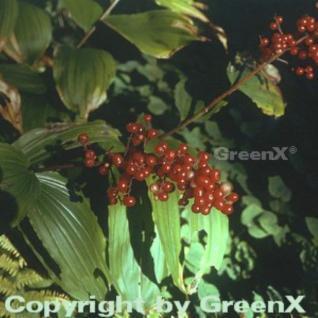 Schattenblume - Smilacina racemosa - Vorschau