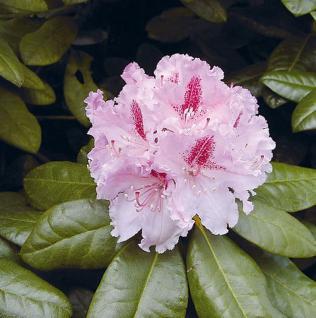 Großblumige Rhododendron Progrès 70-80cm - Alpenrose - Vorschau