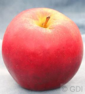 Apfelbaum Knebusch 60-80cm - knackig und süß - Vorschau