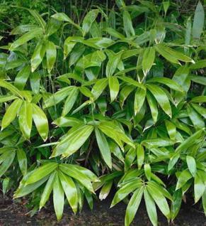 Breitblättriger Bambus 100-125cm - Sasa palmata nebulosa - Vorschau