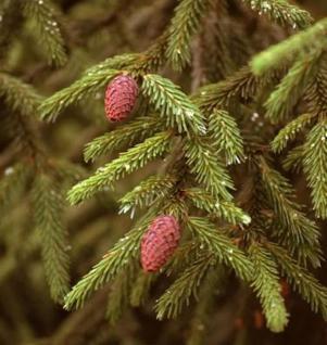 Kaukasus Fichte Sapindus Fichte 100-125cm - Picea Orientalis - Vorschau