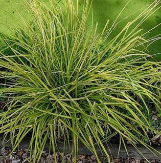 Steife Segge Bowles Golden - Carex elata - Vorschau