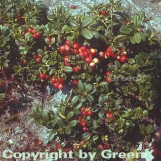 Preiselbeere 10-15cm - Vaccinium vitis idaea - Vorschau