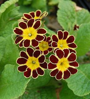 Himmelschlüssel Gold Lace - Primula elatior - Vorschau