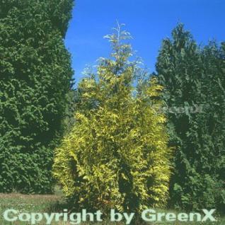 Lebensbaum Zebrina 30-40cm - Thuja plicata - Vorschau