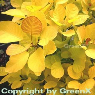 Perückenstrauch Golden Spirit® 30-40cm - Cotinus coggygria - Vorschau