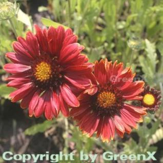 Korkadenblume Burgunder - Gaillardia aristata - Vorschau