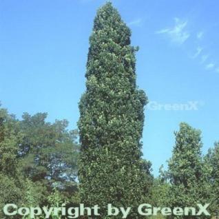 Pyramideneiche 125-150cm - Quercus robur Fastigiata - Vorschau