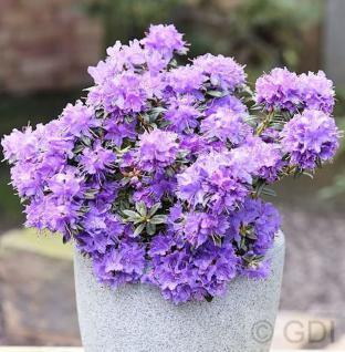 Zwerg Rhododendron Ronny 15-20cm - Rhododendron impeditum - Zwerg Alpenrose - Vorschau