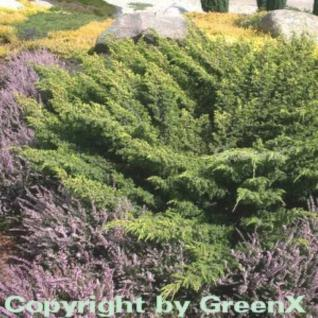 Gelber Teppichwacholder 20-30cm - Juniperus communis - Vorschau
