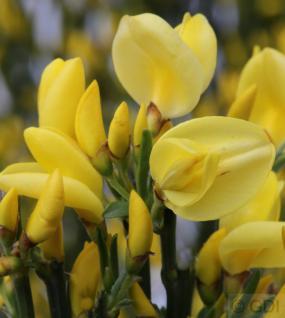 Elfenbein Ginster Allgold 40-60cm - Cytisus praecox - Vorschau