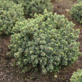 Zwerg Igelfichte Blue Earth 20-25cm - Picea glauca - Vorschau