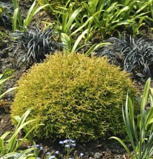 Lebensbaum Anniek 25-30cm - Thuja occidentalis Anniek - Vorschau