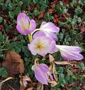 Herbstzeitlose Violett - Colchicum cilicium - Vorschau