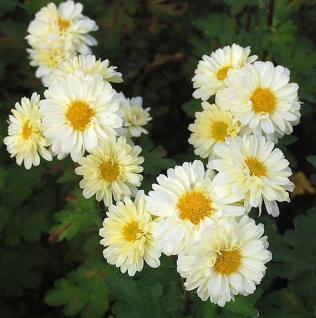 Herbstaster Poesie - Chrysanthemum hortorum - Vorschau