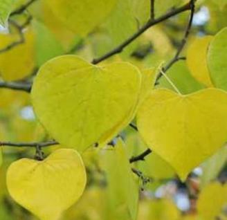 Kanadischer Gold Judasbaum 80-100cm - Cercis canadensis - Vorschau