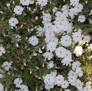 Teppich Flammenblume White Admiral - Phlox Douglasii - Vorschau