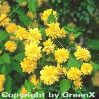 Ranunkelstrauch 60-80cm - Kerria japonica - Vorschau