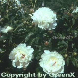 Edelpfingstrose Festiva Maxima - Paeonia lactiflora - Vorschau