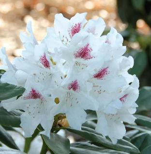 Großblumige Rhododendron Schneeauge 30-40cm - Alpenrose - Vorschau