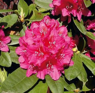 Großblumige Rhododendron Dr.H.C.Dresselhuys 30-40cm - Alpenrose - Vorschau