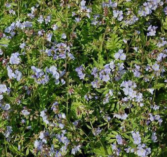 Jakobsleiter Blue Pearl - Polemonium reptans - Vorschau