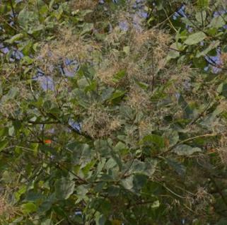 Perückenstrauch Smokey Joe 30-40cm - Cotinus coggygria - Vorschau